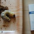 幼虫のサイズ